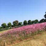 「のこのしまアイランドパーク」コスモスが綺麗な能古島の観光地【福岡市西区】